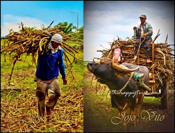 sagay sugarcane workers